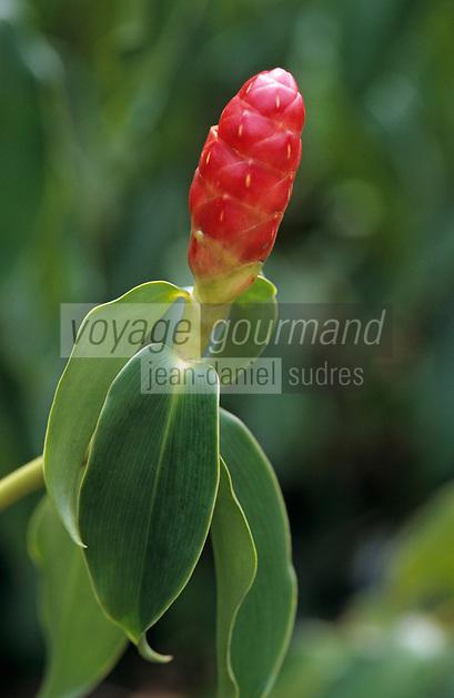 """Océanie/Australie/Queensland/Env. de Mossman: Fleur de gingembre au """"Botanical Ark"""""""