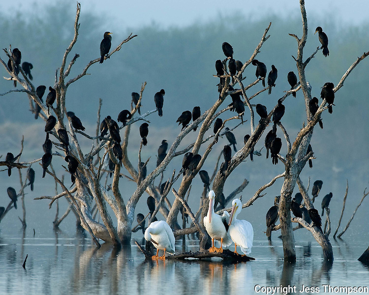 American White Pelicans and Cormorants, .Choke Canyon State Park, TX