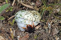 Zweifarbige Schneckenhaus-Mauerbiene, Zweifarbige Schneckenhausbiene, Zweifarbige Mauerbiene, an Schneckengehäuse, Schneckenhaus, dreht das Gehäuse, Osmia bicolor, Mauerbienen, Mason bee, Mason bees