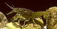 1Y06-002b  Crayfish