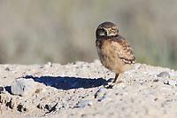 Burrowing Owl (Athene cunicularia) nestling standing outside nest burrow in sagebrush country. Idaho. July.