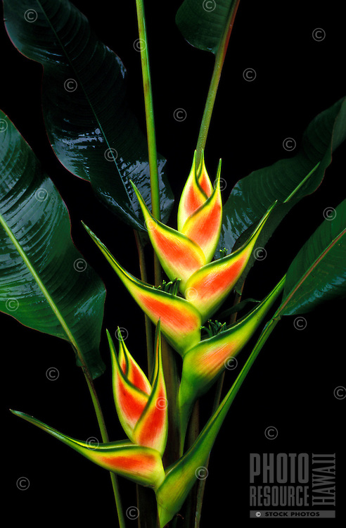 Red, yellow and green bracts and glossy green foliage of Heliconia wagneriana against a black background