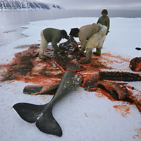 Inuit Hunters butchering a narwhal, Monodon monoceros, at the floe edge. It was harpooned from a kayak. Qaanaaq. NW Greenland, Arctic