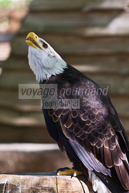 Europe/Europe/France/Midi-Pyrénées/46/Lot/Rocamadour: Ecoparc du Rocher des Aigles: parc d'oiseaux: rapaces Pygargue à tête blanche, Haliaeetus leucocephalus, appelé aussi aigle chauve