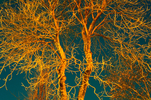 AVAILABLE FROM JEFF AS A FINE ART PRINT.<br /> <br /> AVAILABLE FROM JEFF FOR COMMERCIAL AND EDITORIAL LICENSING.<br /> <br /> Original image photographed on 35mm tranparency film.<br /> <br /> Close-up of Branches on a Bare Tree on a Winter Night, Gramercy Park, New York City, New York State, USA
