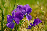 Alpine meadow violet Swiss Alps Switzerland Europe