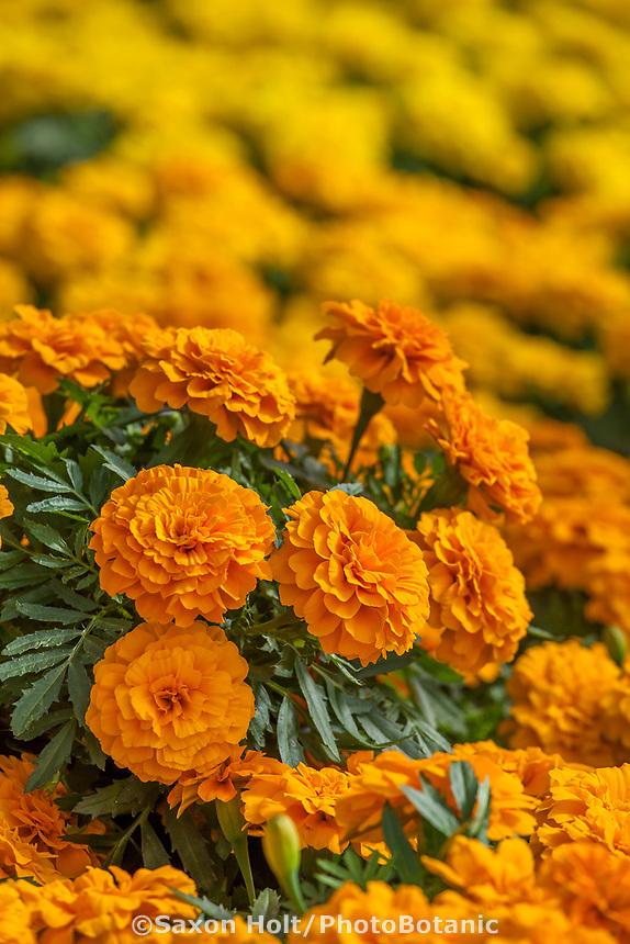 Marigolds, Endurance™ Orange Tagetes triploid; Syngenta Flowers