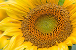 Green River Wildlife Area, Lee County, IL<br /> Single sunflower head detail