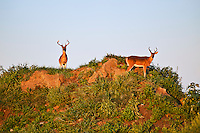 Deer bucks.