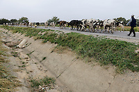 TURKEY Manisa, dry irrigation canal and milk cows on the road / TUERKEI Manisa, trockener Bewaesserungskanal und Kuhherde auf der Strasse