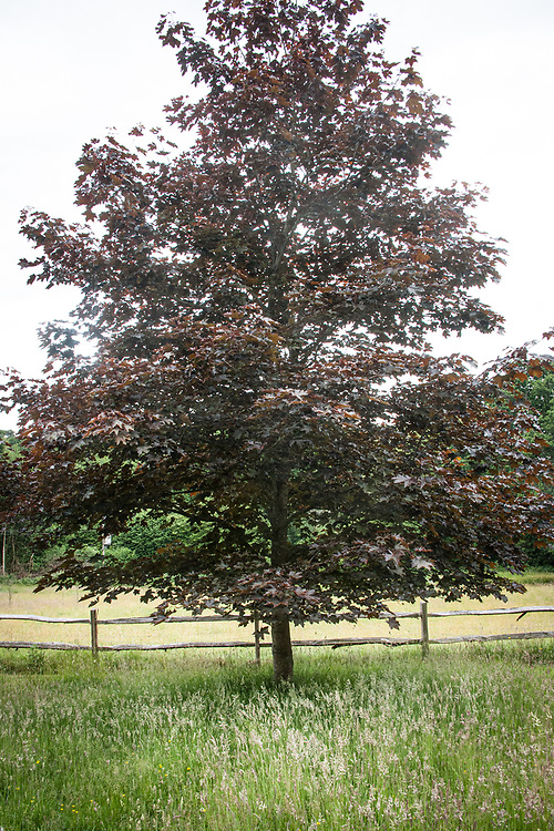 Norway maple (Acer platanoides), mid June.
