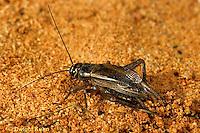 OR10-017b  Cricket - laying eggs, house cricket - Acheta domestica