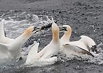 Gannetts battle over fish by Jock Elliott