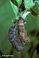 GY05-002c  Gypsy Moth - pupa on willow tree - Lymantria dispar