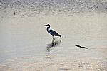 Yala National Park Sri LankaYala National Park Sri Lanka<br /> Grey Heron and Crocodile