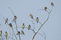 Cedar Waxwing, Bombycilla cedrorum, adults on aspen tree with snow, Grand Teton NP,Wyoming, September 2005