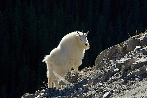 Mountain Goat (Oreamnos americanus) in Northern Rockies, fall.