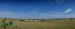 After the rainy season of late summer, zebra and wildebeest flock to lush savannahs where grass shoots explode in growth.<br /> Maasai Mara National Park, Kenya