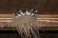 Rauchschwalbe, Rauch-Schwalbe, Rauch - Schwalbe, Küken sperrend, bettelnd im Lehmnest, Nest an einem Holzbalken in einem Stall, Hirundo rustica, Swallow, barn swallow, Hirondelle rustique