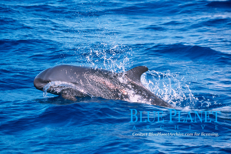 false killer whale, Pseudorca crassidens, NMFS permit #731 Hawaii, Pacific Ocean
