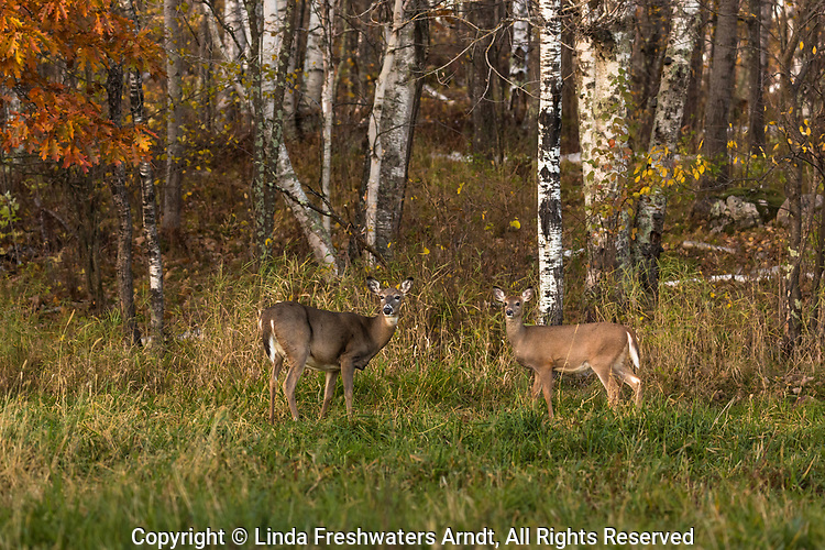 White-tailed doe and fawn in an autumn field in northern Wisconsin.