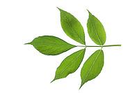 Schwarzer Holunder, Sambucus nigra, Fliederbeeren, Fliederbeere, Common Elder, Elderberry, Sureau commun, Sureau noir. Blatt, Blätter, leaf, leaves