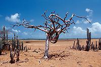 Dead tree and cactuses, Netherland Antilles, Caribbean, Atlantic, Bonaire, Bonaire