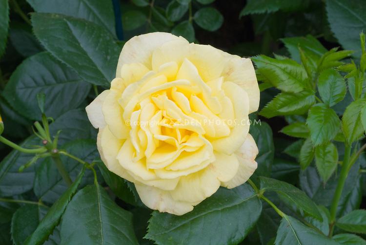 Rosa 'Chinatown' yellow rose, floribunda rose