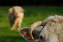 17/05/06 - VINZELLES - PUY DE DOME - FRANCE - Elevage bovin allaitant. Vache Charolaise - Photo Jerome CHABANNE