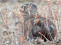 Dusky (Blue) Grouse are commonly seen near Lake Butte Overlook.