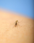 Mosquito from Nora Besansky's lab