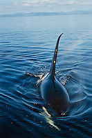 Orca Whale or killer whale (Orcinus orca)