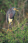 Tricolor Heron, Everglades NP, Florida, USA