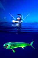 Mahi Mahi, Coryphaena hippurus, also known as a dorado or dolphin fish, Big Island of Hawaii, USA, Pacific Ocean (digital composite)