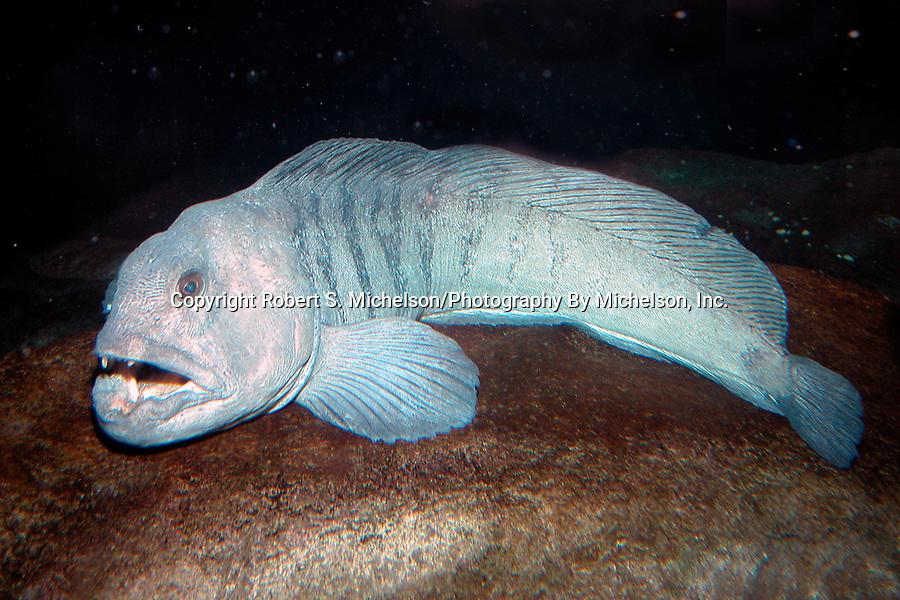 Atlantic Wolf Fish, side view full body