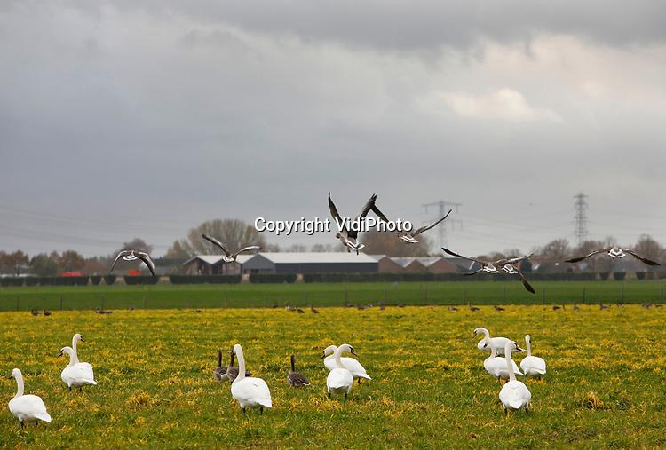 Foto: VidiPhoto<br /> <br /> VALBURG – Glysofaat maakt het gras een stuk smakelijker voor ganzen en zwanen. Zo blijkt. De dieren duiken donderdag massaal op een met glysofaat behandeld weiland in Valburg in de Betuwe, terwijl de groene weidegronden in de buurt met rust worden gelaten. Melkveehouders gebruiken glysofaat om de oude grasplanten te laten afsterven en nieuw productiever gras in te kunnen zaaien. Het onkruidbestrijdingsmiddel valt binnen de veiligheidsnormen van de Europese Voedsel- en Warenautoriteit. Glysofaat is pas schadelijk voor mens en dier als meer dan honderd keer de toegestane dosering wordt gebruikt. De vogels mogen er daarom tot het weiland omgeploegd wordt naar hartelust grazen en poepen.