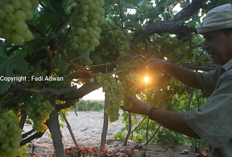 """Palestinian farmer harvest grapes in light of the Israeli closure of commercial crossings with the Gaza Strip after Hamas control of the Gaza Strip August 20, 2007.""""photo by Fady Adwan"""""""