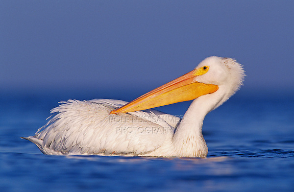 American White Pelican, Pelecanus erythrorhynchos,adult preening, Rockport, Texas, USA, December 2003