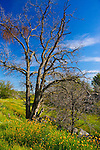 Fresno Blossom Trail, Almond Trees, Oak Trees, Foothills, Spring Flowers, Wild Flowers, Madera, Fresno, California, Fresno County, Madera County, Photos by Joelle Leder Photography, Award Winning Landscape Photographer, Flower  Photography, Fresno Photographer, The Studio Yosemite, Joelle Leder Photography, Oakhurst Photo Studio