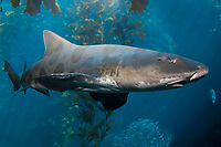 Leopard Shark, Triakis semifasciata, California, USA, Pacific Ocean