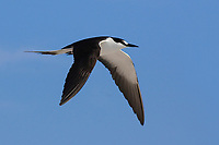 Adult Sooty Tern (Sterna fuscata) in flight. Dry Tortugas, Florida. March.