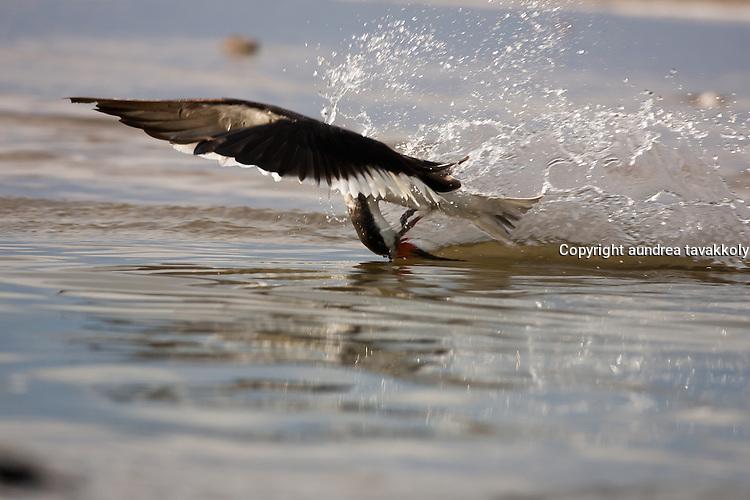 Black skimmer fishing, Rynchops niger
