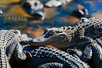 Herd of American alligators close-up portrait, in the swamps of the Everglades National Park, near Miami, Florida USA