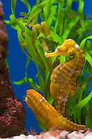 Lined Seahorse (Hippocampus erectus) in aquarium.   The lined seahorse is a vertebrate fish that belongs to the family Syngnathidae.  This species inhabits a range that extends from Nova Scotia to Uruguay, and from the Gulf of Mexico to the Caribbean Sea.