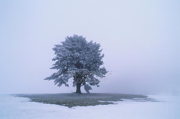 Mugo Pine, Pinus mugo, tree with frost in fog, Oberaegeri, Switzerland, December 1995