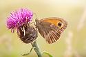 Gatekeeper / Hedge Brown butterfly {Pyronia tithonus} resting on Common Knapweed {Centaurea nigra}. Peak District National Park, Derbyshire, UK. August.