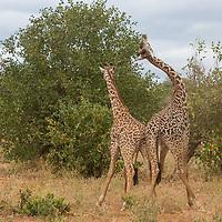 Tanzania. Two Young Adult Maasai Giraffes Fighting.  Tarangire National Park. (Giraffa camelopardalis tippelskirchi).