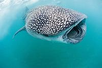 whale shark, Rhincodon typus, feeding on plankton, El Mogote, La Paz, Baja California Sur, Mexico, Sea of Cortez, Gulf of Califoria, Pacific Ocean