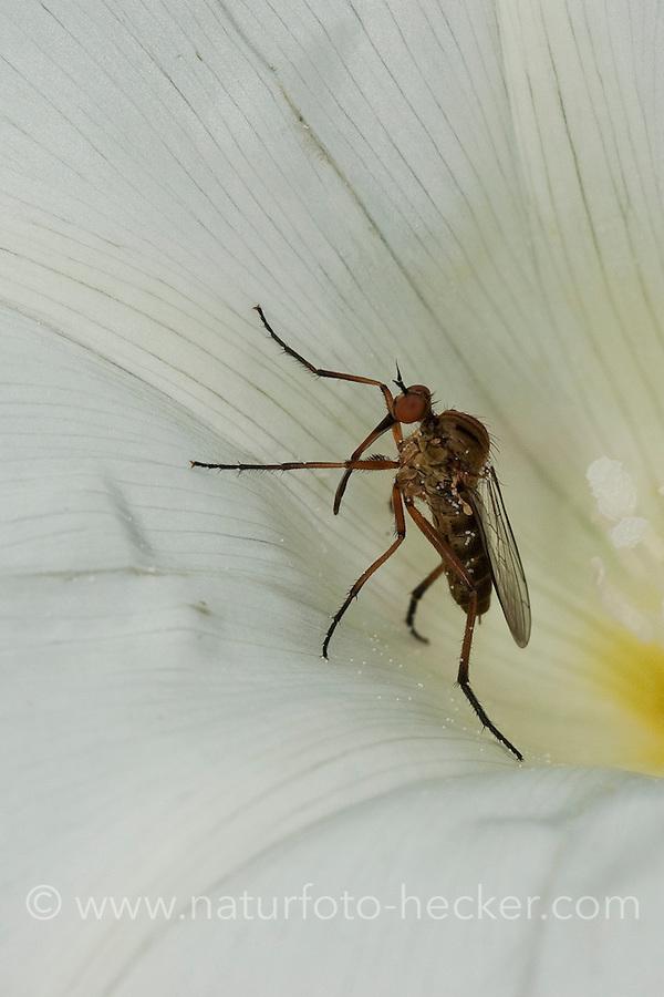 Helle Tanzfliege, Blütenbesuch in Zaunwinde, Empis livida, Empididae, Tanzfliegen, dance fly, dance flies, dancefly, danceflies, dance-fly, dance-flies