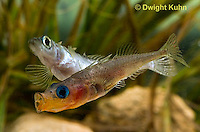1S18-502z  Threespine Stickleback, male courting gravid female by initiating dorsal pricking behavior by pressing his dorsal spines into the female's belly, Gasterosteus aculeatus